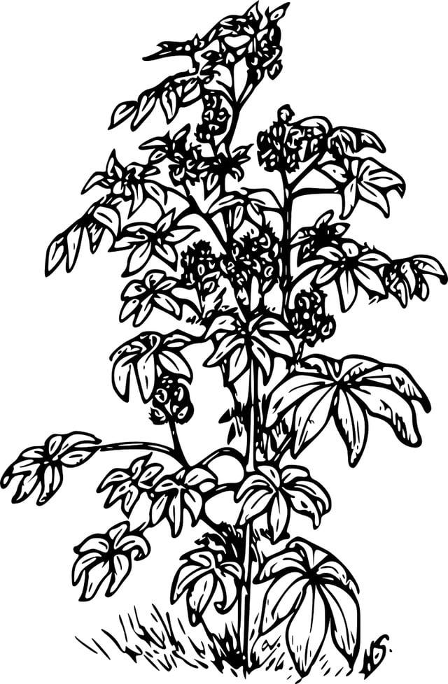Huile de ricin plante
